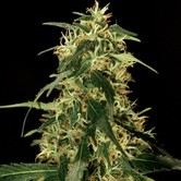 Bubblegum Kush (Bulldog Seeds) feminized