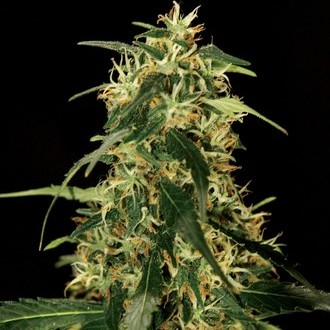 Silver Star Haze (Bulldog Seeds) feminized