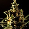 The Bulldog Haze (Bulldog Seeds) feminized
