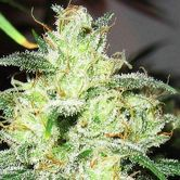 Gorilla x Cheese (Expert Seeds) feminized