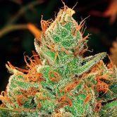 Gorilla x Lilly (Expert Seeds) feminized