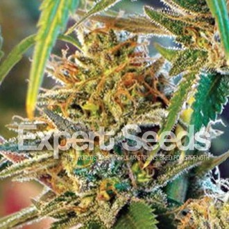 California Orange (Expert Seeds) feminized