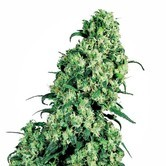 Skunk 1 (White Label) feminized