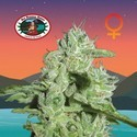 California Orange Cheese (Big Buddha Seeds) feminized