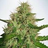 Cannabis Light (Ministry of Cannabis) feminized