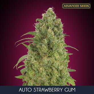 Auto Strawberry Gum (Advanced Seeds) feminized
