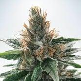 God's Glue (Ministry of Cannabis) feminized