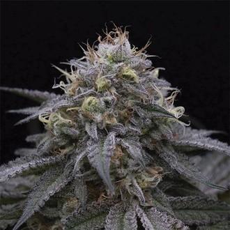 Sugar Breath (Humboldt Seeds) gefeminiseerd