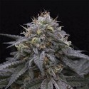 Sugar Breath (Humboldt Seeds) gefeminiseerd