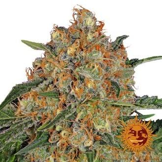 Orange Sherbet (Barney's Farm) feminized