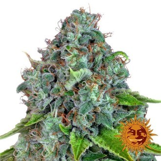 Strawberry Lemonade (Barney's Farm) feminized