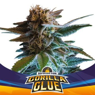 Gorilla Glue Auto (BSF Seeds) feminized
