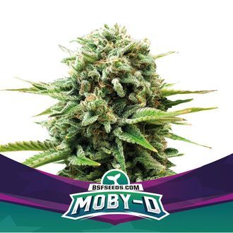 Moby-D (BSF Seeds) feminized