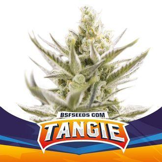 Tangie XXL Auto (BSF Seeds) feminized