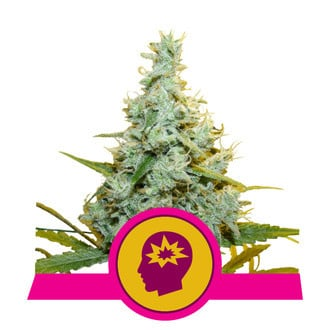 AMG - Amnesia Mac Ganja (Royal Queen Seeds) feminized