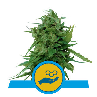 Solomatic CBD (Royal Queen Seeds) feminized
