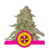 Sweet Zkittlez (Royal Queen Seeds) feminized