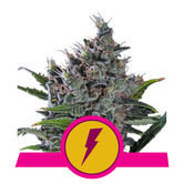 North Thunderfuck (Royal Queen Seeds) feminized