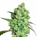 Super Skunk (White Label) feminized