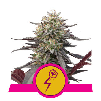 Green Crack Punch (Royal Queen Seeds) feminized
