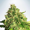 Auto Cannabis Light (Ministry of Cannabis) feminized