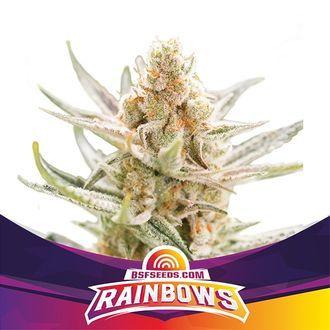 Rainbows (BSF Seeds) feminized