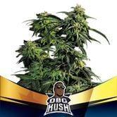 OBG Kush (BSF Seeds) feminized