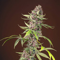 Red Mandarine F1 Fast Version (Sweet Seeds) feminized