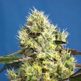 Sweet Gelato Auto (Sweet Seeds) feminized