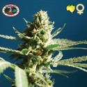 Sch'Lemon Cake (Big Buddha Seeds) feminized