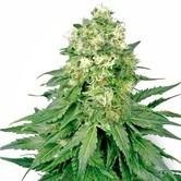 White Widow (White Label) feminized