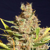 Alien Gorilla (Original Sensible Seeds) feminized