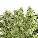 Feminized Mix (White Label) feminized