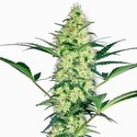 White Diesel (White Label) feminized