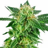 Snow Ryder (White Label) feminized