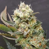 ZkittleZ Glue (Expert Seeds) feminized