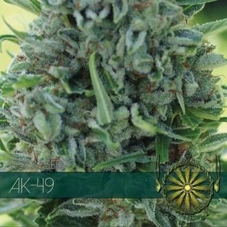 AK-49 (Vision Seeds) feminized