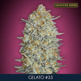 Gelato 33 (Advanced Seeds) feminized