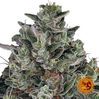 Glookies (Barney's Farm) feminized
