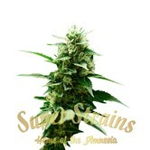 Mexican Candy (Super Strains) feminized