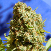 Bruce Banner 3 Fast (Original Sensible Seeds) feminized