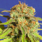 Bruce Banner 3 Auto (Original Sensible Seeds) feminized