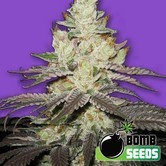 Killer Purps (Bomb Seeds) feminized