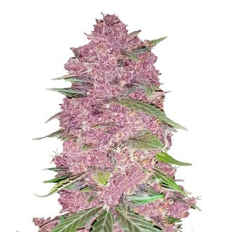 Purple Lemonade (FastBuds) feminized