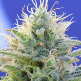 Auto Ghost OG (Original Sensible Seeds) feminized