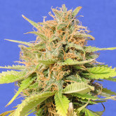 Girl Scout Cookies Auto (Original Sensible Seeds) feminized