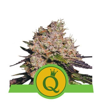 Purple Queen Automatic (Royal Queen Seeds) feminized