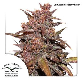 CBD Auto Blackberry Kush (Dutch Passion) feminized
