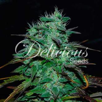 Chocobang (Delicious Seeds) Feminized