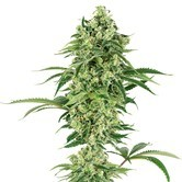 Nicole Hindu Kush (White Label) feminized